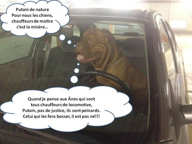 chien chauffeur de maître
